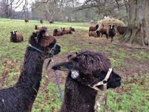 Finally everyone is getting used to seeing each other. Zwartbles relaxing under the tree while the Alpaca boys walk by