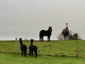 Horses & Alpaca boys viewing each other with stunned surprise