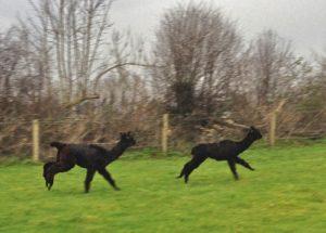 Catch me if you can......Alpaca race