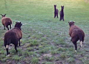 Ewe lambs meet the Alpaca boys for the first time without me in the middle.