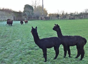 """Alpaca boys seek me out as security against ewe lambs. """"Suck it up boys your to become their protectors"""""""