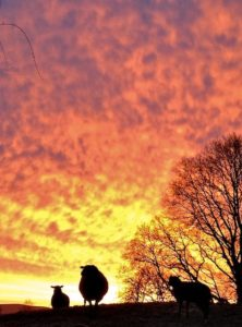 Flaming Mackerel Skies Silhouettes Sheep