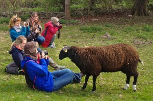 No zoom lenses needed to photograph these sheep