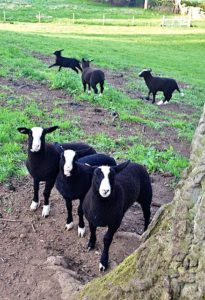 More lambs who want to play