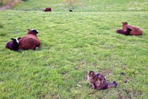 So now we are sort of between both ewes who are still lying down comfortably