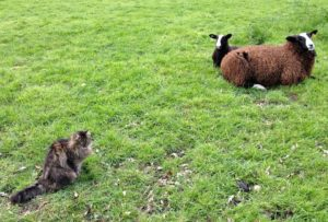 Then Bodacious sits down to calm the lamb down
