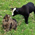 A greeting between lamb & Bodacious
