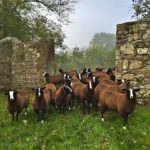 Zwartbles Lambs come out our orchard gate