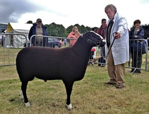 Noel Lally Showing his Zwartbles ram Clonmel 2014