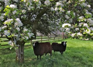 Alfie and Buster under the apple tree