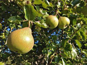 Catillac Pear