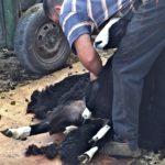 Shearing a Ewe lamb